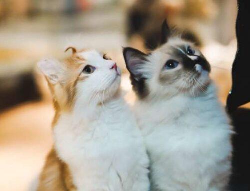 Кошачья ревность в вопросах. Как питомцы ведут борьбу внимание людей