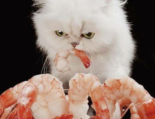 Почему кошки любят креветки, как правильно угостить питомца деликатесом