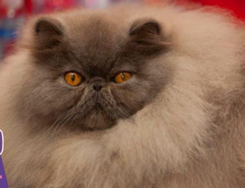 😻Знакомимся с породой: персидская кошка