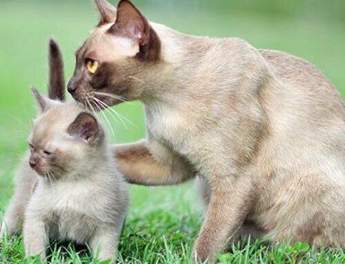 Послеродовая эклампсия у кошек – как отличить патологию от простой депрессии, в чем ее опасность, возможно ли лечение