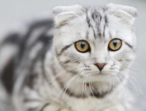 Почему у кошки может появиться мочекаменная заболевание