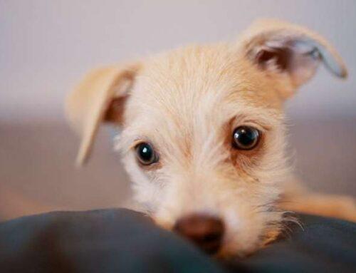 Ушной клещ у собак: признаки и исцеление