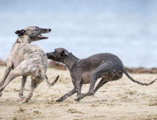 «Со скоростью света»: как стремительно могут бегать собаки
