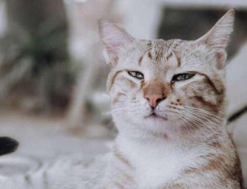 Кошка чихает, и у нее слезятся глаза: предпосылки и исцеление дома
