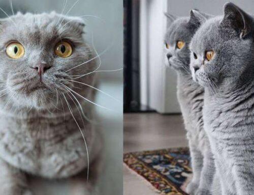 Как отличить шотландского котенка от обычного